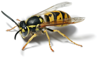 European wasp could be a problem if not be CanYa services