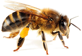Honey Bees are you friends, CanYa will help you keep them safe and move them along with our services providers