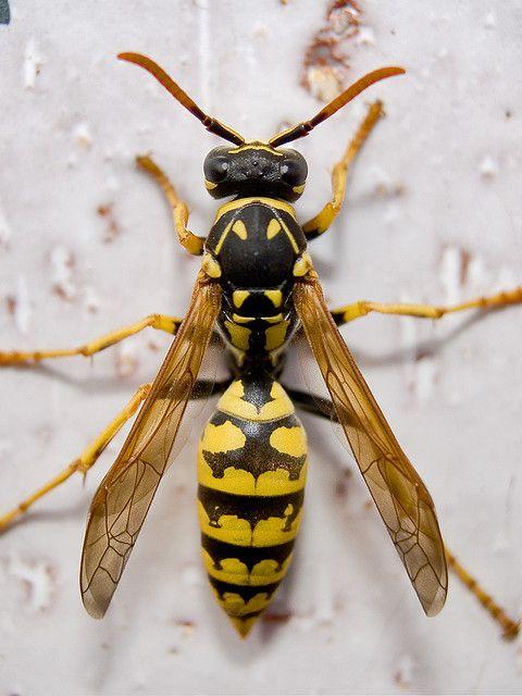European Wasp_Up Close