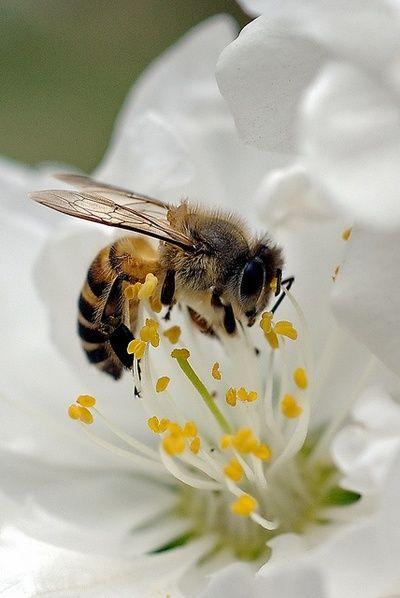 Honey Bees_Pollen